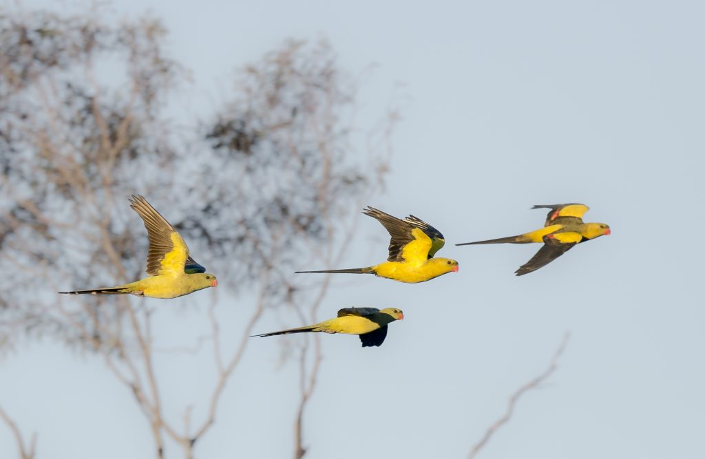 Four Eastern Regent Parrots in flight