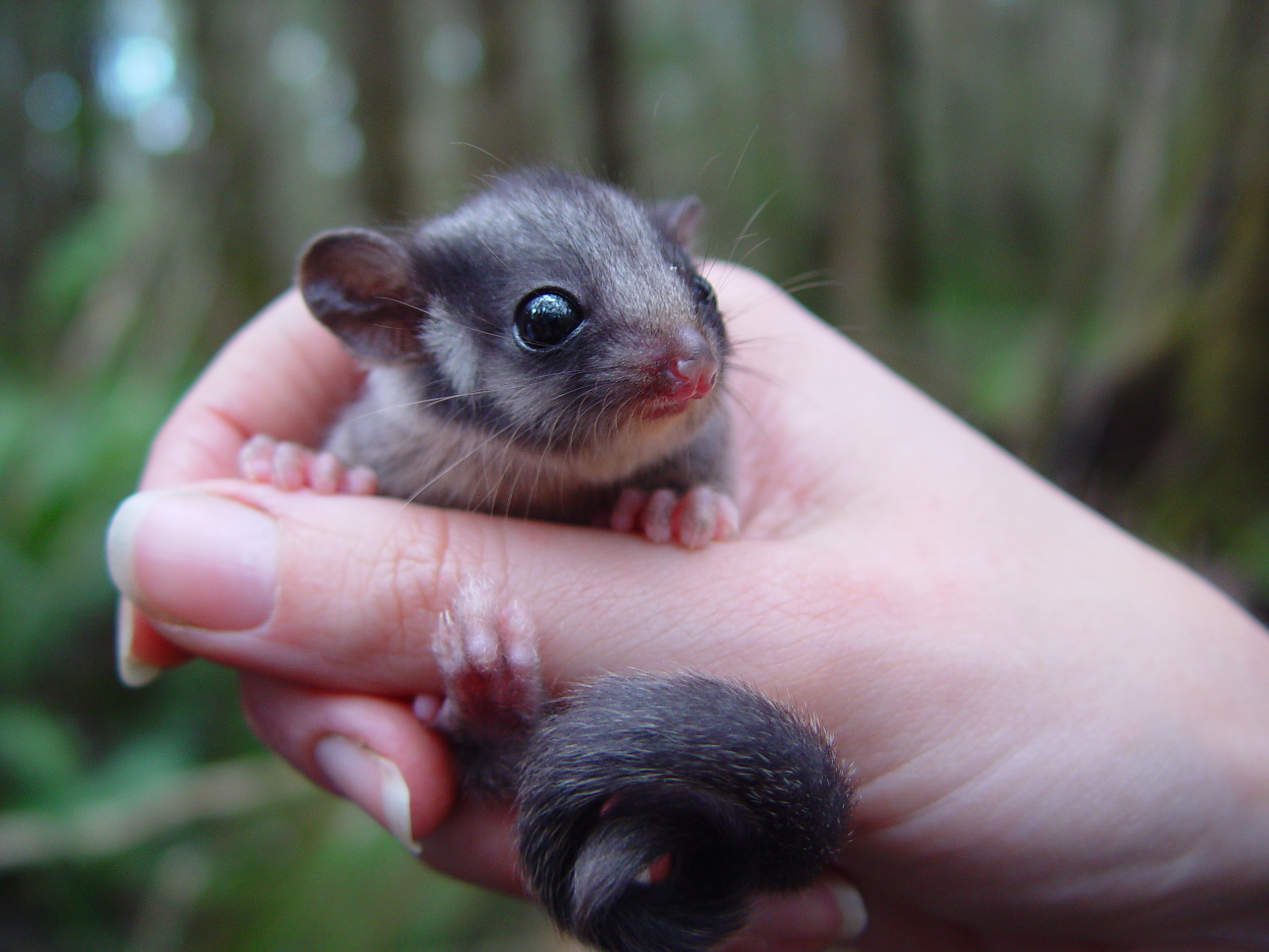 A hand holding a tiny Leadbeater's Possum