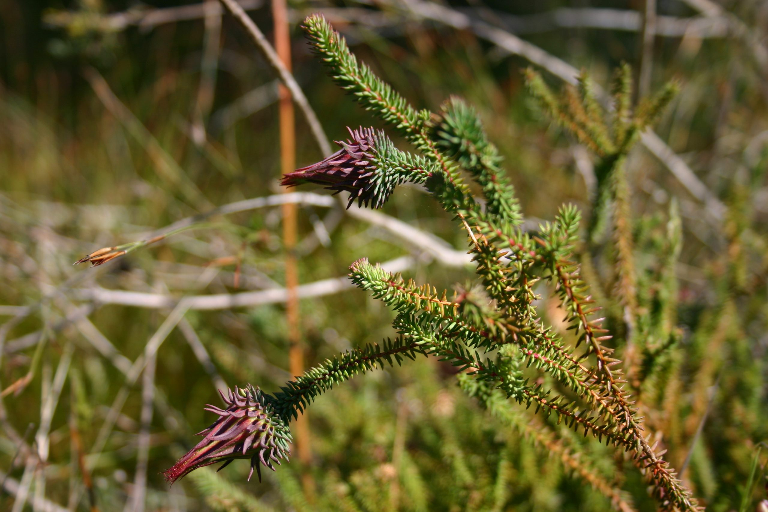 A threatened plant